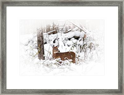 Snow Doe Framed Print by Karol Livote