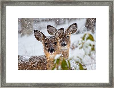 Snow Does Framed Print by Betsy Knapp