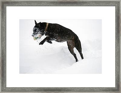 Snow Dog 3 Framed Print by Crystal Harman