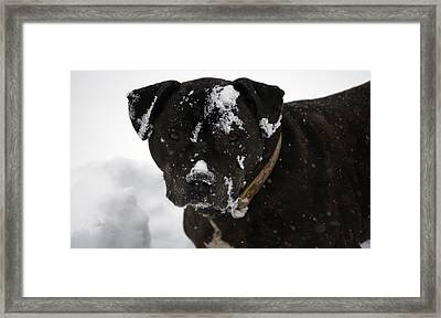 Snow Dog 4 Framed Print by Crystal Harman