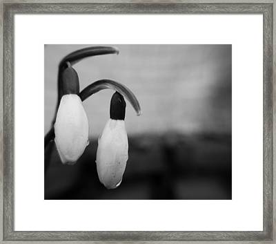 Snow Drops Framed Print by Dave Byrne