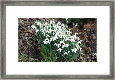 Snow Drops Framed Print by John Williams