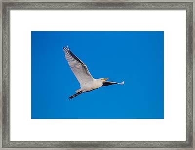 Snow Egret In Flight Framed Print by Andres Leon