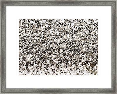 Snow Geese Blast Off Framed Print