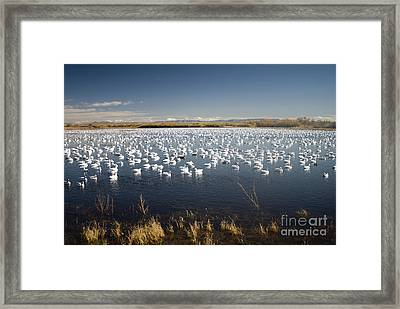 Snow Geese - Bosque Del Apache Framed Print