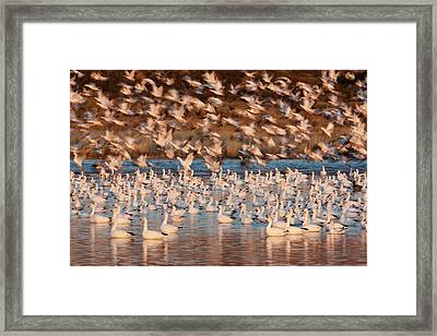 Snow Geese, Bosque Del Apache National Framed Print by Art Wolfe