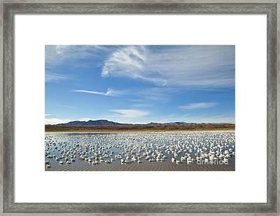 Snow Geese Bosque Del Apache  Framed Print by Yva Momatiuk John Eastcott