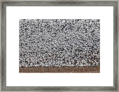 Framed Print featuring the photograph Snow Geese by Brian Williamson