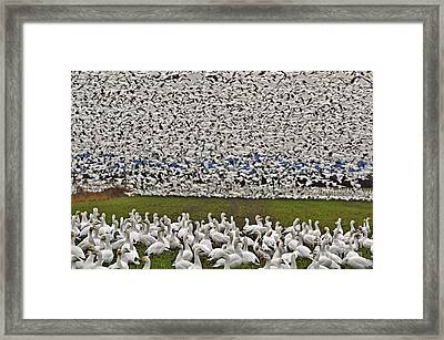 Snow Geese By The Thousands Framed Print by Valerie Garner