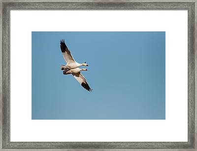 Snow Geese (chen Caerulescens Framed Print by Larry Ditto