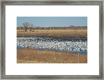 Snow Geese Flock Framed Print by Jim West