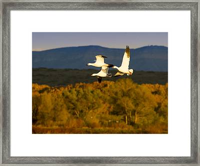 Snow Geese Flying In Fall Framed Print