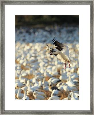 Snow Geese Landing In Corn Fields, Chen Framed Print by Maresa Pryor