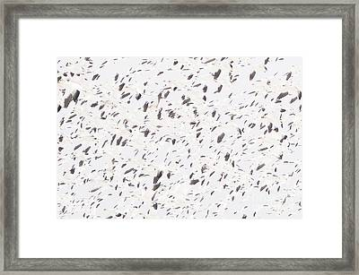Snow Geese Migration Framed Print by Jim Corwin