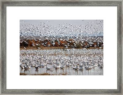 Snow Geese No.4 Framed Print
