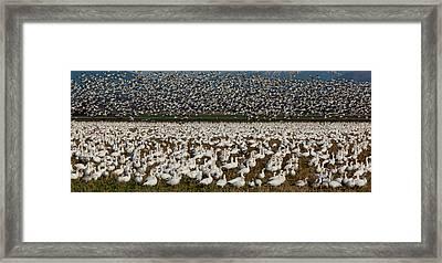 Snow Geese, Skagit Valley, Washington Framed Print by Art Wolfe
