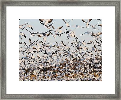 Snow Geese Takeoff From Farmers Corn Field. Framed Print