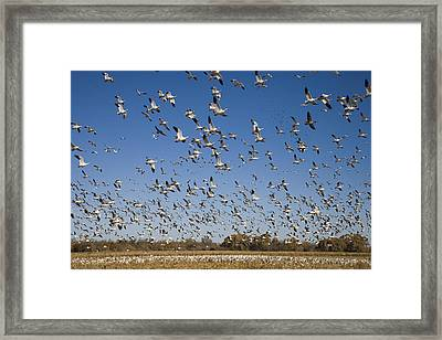 Snow Geese Taking Flight Bosque Del Framed Print by Tom Vezo