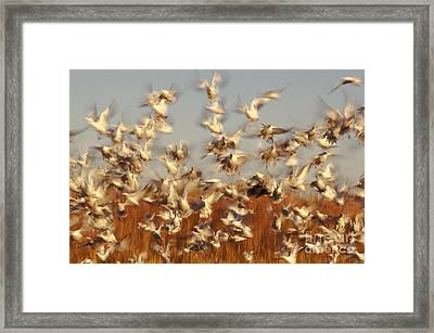 Snow Geese Winter Migration Framed Print