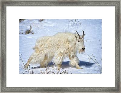 Snow Goat Limited Edition Framed Print by Greg Norrell