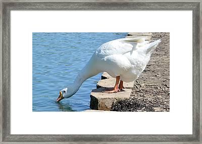 Snow Goose 2 Framed Print by Bob Gross
