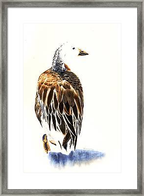 Snow Goose - Dark Morph Bird Framed Print by Donna Greenstein