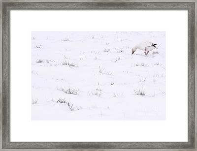 Snow Goose During Migration Framed Print