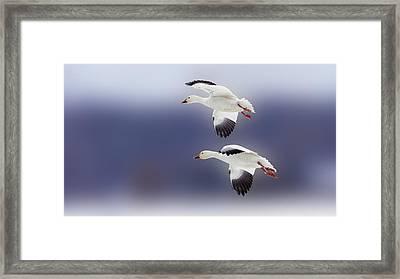 Snow Goose Flight Framed Print
