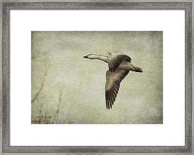 Snow Goose In Flight Framed Print