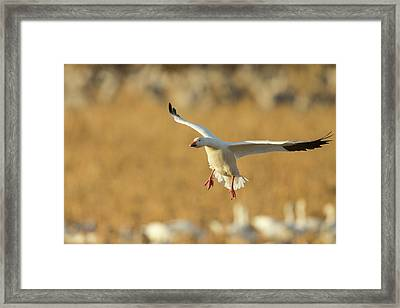 Snow Goose Landing In Corn Fields, Chen Framed Print by Maresa Pryor