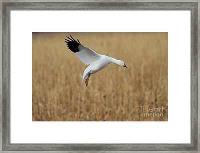Snow Goose Landing Framed Print by Ruth Jolly