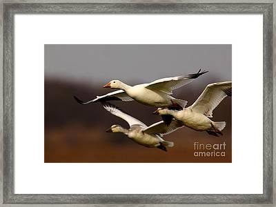 Snow Goose Formation Migration Framed Print