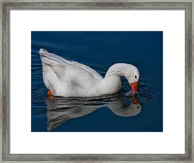 Snow Goose Reflected Framed Print by John Haldane