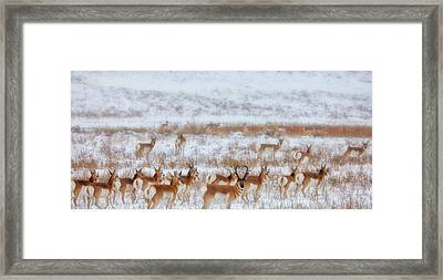 Snow Grazers Framed Print by Darren  White