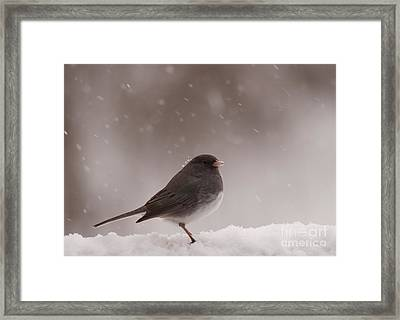 Snow Junco Framed Print