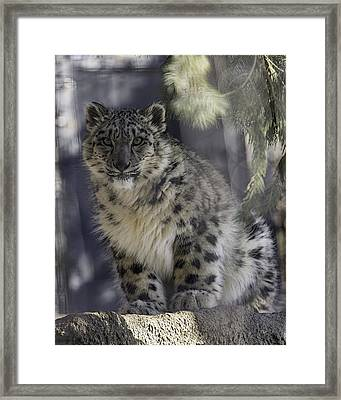 Snow Leopard 1 Framed Print