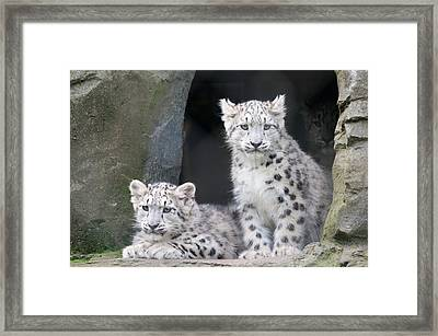 Snow Leopard Cubs Framed Print