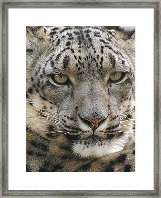 Framed Print featuring the photograph Snow Leopard by Diane Alexander