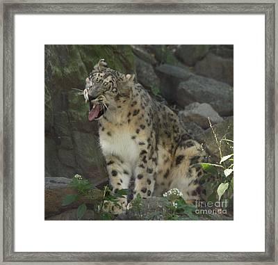 Snow Leopard Growling Framed Print by John Telfer