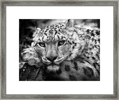 Snow Leopard In Black And White Framed Print