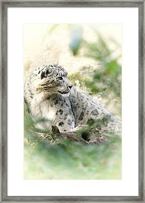 Snow Leopard Pose Framed Print by Karol Livote