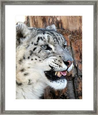 Snow Leopard Snarl Framed Print by Ramona Johnston