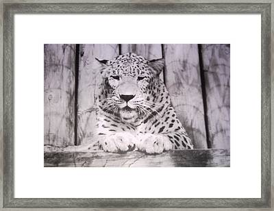 White Snow Leopard Chillin Framed Print by Belinda Lee