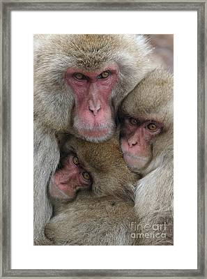 Snow Monkey And Young Framed Print