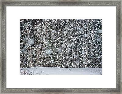 Snow On Birch  Framed Print