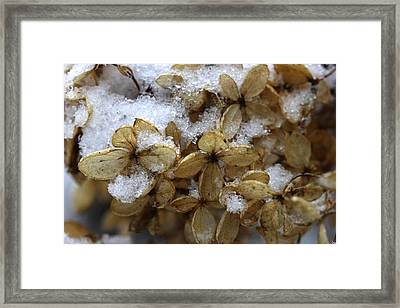 Snow On Hydrangea Framed Print