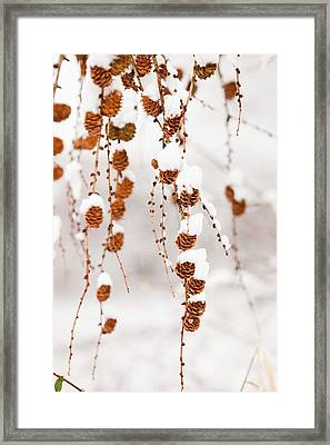 Snow On Larch Cones Framed Print