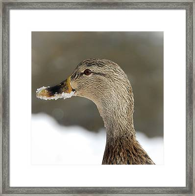 Framed Print featuring the photograph Snow On My Beak  by Elaine Manley