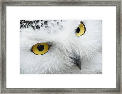 Snow Owl Eyes Framed Print