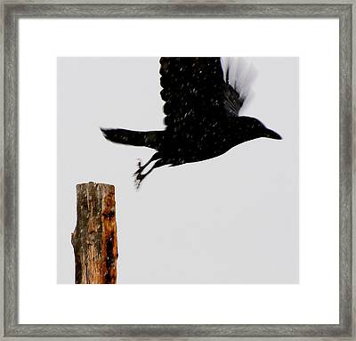 Framed Print featuring the photograph Snow Raven Blurr by Britt Runyon